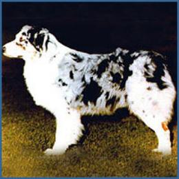 Australian shepherd blueprint moon dancer id 1514 wildhagens dutchman of flintridge malvernweather Images
