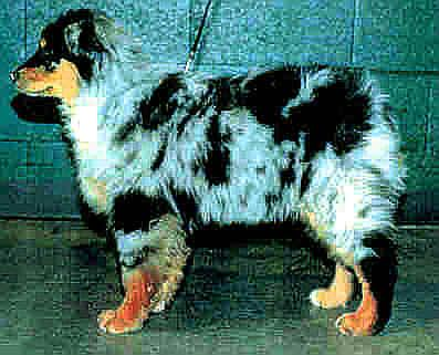 Australian shepherd blueprint moon dancer id 1514 aristocrats lady sings the blues malvernweather Images