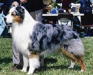 Australian shepherd blueprint moon dancer id 1514 photo by unknown malvernweather Images